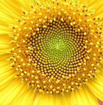 Sunflower whorl sacred geometry