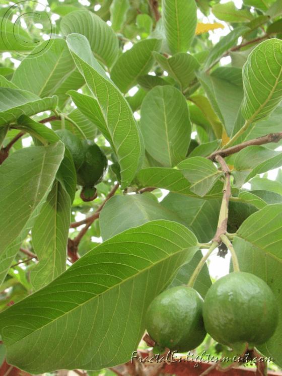 Guava leaves health benefits healing properties