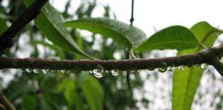 rain drops on a mango branch
