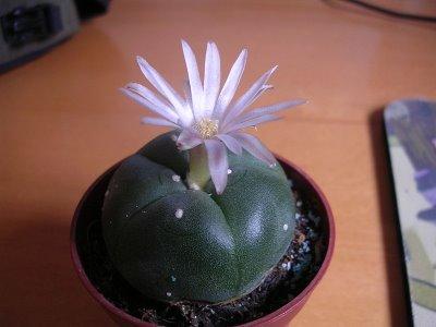 A flowering peyote cactus